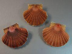 Seashell, Pecten jacobaeus, Italia