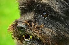 Cairn terrier Daisy 8) | Flickr - Photo Sharing! Carrie - Felicity & Beryl