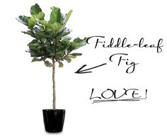 Fiddle Leaf Fig trees - Love! 2 seven foot tall trees will be seen in our space:)