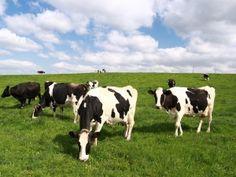 Holstein koeien in Michigan. http://agrixperience.nl/stage-veehouderij-amerika/