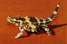 Australian Horned Lizard (The Thorny Devil)