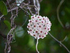 ガジュマルから下がって咲くサクララン
