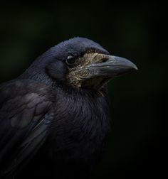 https://flic.kr/p/vjYD4k | Crow, Fota Island, Cork