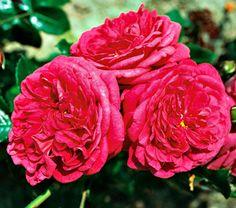 ~Rose Laguna - climbing rose: height: 8-9ft light: full sun blooms in: June - September spacing: 4ft