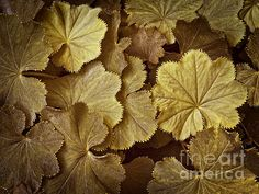 Toasted Ladys Mantle - photograph by Lee Craig. Fine art prints and posters for sale. #ladysmantle #macrophotography #leecraig