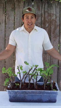 Home Vegetable Garden, Fruit Garden, Garden Trees, Lawn And Garden, Fruit Trees, Trees To Plant, Growing Fig Trees, Grafting Plants, Raised Garden Beds