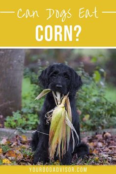 There is a lot of controversy about corn and canines. So much so, in fact, that you may be wondering if your pup is going to get sick after stealing that cob off your plate. Dog Health Tips, Dog Health Care, Cheap Dog Food, Dry Dog Food, Animal Nutrition, Pet Nutrition, Can Dogs Eat Corn, Dog Food Reviews, Dog Food Brands