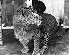 Johnny, a leopon, is seen here in Kobe, Japan, circa 1960. Johnny is part lioness part leopard. Leopons typically have the head of a lion and the body of a leopard.