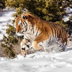 Amur Tiger | Photo by @suhaderbent #wildlives