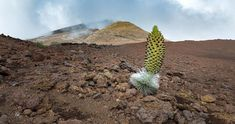 With its moon-like surface and high elevation, Haleakalā National Park is one of the region's most unique habitats. At first glance, it's hard to believe that plants would grow on its barren terrain, but Haleakalā National Park is home to some of the island's most beautiful, and rare, plants. #maui