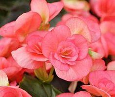 Begonia x hiemalis Baardsebegonia, Hiemalisbegonia Begoniaceae Begoniafamilien STUE Begonia, Rose, Flowers, Plants, Pictures, Pink, Roses, Florals, Plant