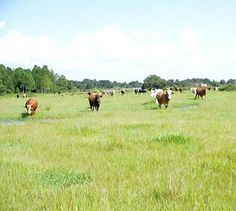 For Sale! Located in Polk County, Florida, this property offers open pasture land for cattle grazing. This versatile ranch is also well suited for recreational purposes and features an abundance of wildlife, making it ideal for hunting.