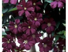 """Etoile Violette Clematis are  2-4"""" in deep purple."""