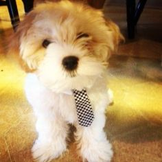 """We had to share this! This is a photo we received for our """"Dog Days of Summer."""" This is Boo-Ber. He is an 11-week-old Shitzu-Yorkie-Poo. His owner is Chrissy Johnson from West Middlesex, PA."""