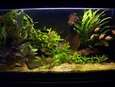 Nitrogen Cycle for fish tanks - for future classroom aquarium science application Saltwater Aquarium, Planted Aquarium, Freshwater Aquarium, Aquarium Fish, Nano Aquarium, Aquarium Setup, Home Aquarium, Aquarium Design, Aquarium Ideas