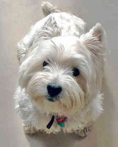 Westie puppy - like the Caesar dog! I so thoroughly love it's little face!