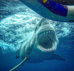 Great White Shark # Wide open