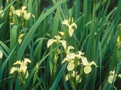 L'#iris #jaune des marais.