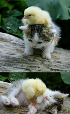 baby chick playing with kitten