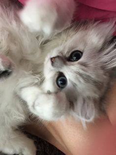 SHADED SILVER PERSIAN KITTEN 14 WEEKS OLD