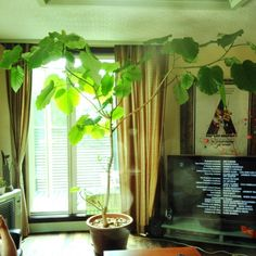 ウンベラータ/NO GREEN NO LIFE/リビングのインテリア実例 - 2014-09-15 21:02:27 | RoomClip(ルームクリップ)