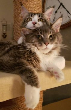 Maine Coon best friends.