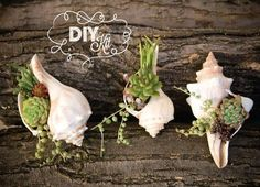 Recycle those sea shells: DIY Succulent Mini Garden Seashells, Sea Shell Terrarium, Succulent Plants, Custom Choice Succulent Cuttings via Etsy Great for Hanging Succulents, Cacti And Succulents, Hanging Planters, Air Plants, Indoor Plants, Succulent Cuttings, Succulent Care, Cactus Y Suculentas, Garden Projects