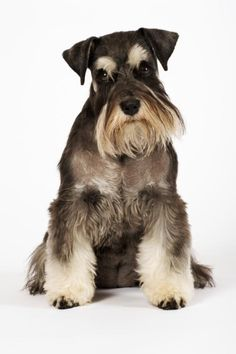 What are the 10 Most Popular Small Dog Breeds?: Miniature Schnauzer
