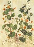 Botanische tekening Oost-Indische kers