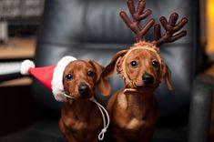 Santa & Reindeer dachshund dog pair :))