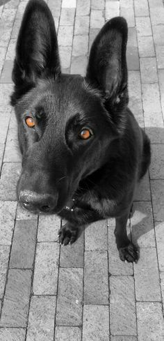 CHOPPER my Black german shepherd