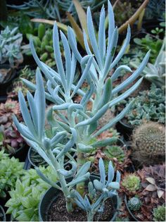 Blue Chalk Stick -- on sale from Pernell Gerver. Also Danger Garden has a great post about them: http://dangergarden.blogspot.com/2013/09/senecio-mandraliscae-my-favorite-plant.html