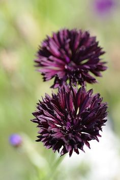 bachelors button centaurea cyans - Cyan Garden 2016