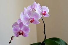Solmuş Orkideyi 1 Malzemeyle Yeniden Canlandırın