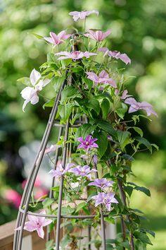 Garden Shop, Dream Garden, Carillons Diy, Black Eyed Susan Vine, Hanging Pots, Plant Species, Clematis, Summer Of Love, Hydrangea