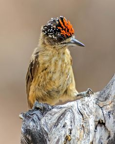 Foto pica-pau-anão-da-caatinga (Picumnus limae) por André Adeodato