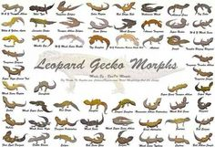 Morphs Lepord Gecko, Leopard Gecko Morphs, Leopard Gecko Habitat, Gecko Terrarium, Reptile Terrarium, Les Reptiles, Reptiles And Amphibians, Animals Of The World, Animals And Pets