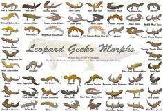 Morphs Reptile Rescue, Reptile Habitat, Reptile Room, Lepord Gecko, Leopard Gecko Morphs, Leopard Gecko Habitat, Gecko Terrarium, Reptile Terrarium, Les Reptiles
