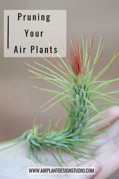 Pruning Your Air Plants Types Of Air Plants, Air Plants Care, Easy House Plants, Garden Plants, Indoor Gardening, Indoor Plants, Air Plant Display, Florida Gardening, Vertical Gardens