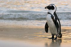 African Penguin by Hind Photo (Craig & Caroline Hind) on Penguin Walk, African Penguin, Boulder Beach, Pictures To Paint, Animal Kingdom, Penguins, Birds, Animals, South Africa