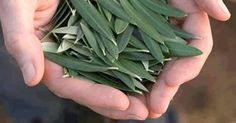 É cada vez maior o interesse pela folha de oliveira.