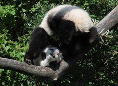 Fu Hu at the Vienna Zoo on June 20, 2011.
