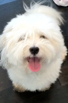 remy! the best dog ever... my little coton de tulear