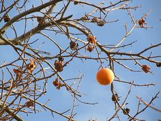 Very lonely persimmon, via Flickr.