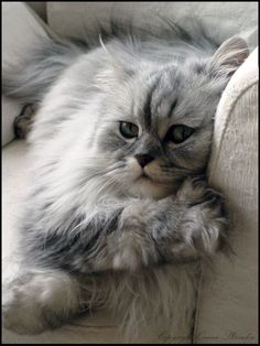 Time to relax - by DarkQueenShizuka on deviantART. This looks just like my Shaded Silver Chinchilla Persian, Alex. #PersianCat