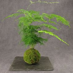 Kokedama - compact Japanese garden incased in moss ball