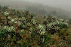 Frailejones - Chingaza Plants, Ideas, Colombia, Naturaleza, Viajes, Pintura, Plant, Thoughts, Planets