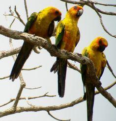 Photo by birdclubLocation:  Pará, Brazil