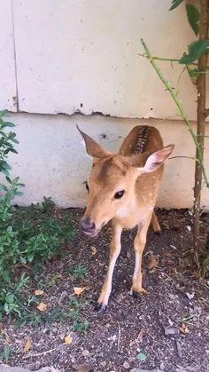 Cute Baby Animals, Farm Animals, Funny Animals, Animal Jokes, Funny Animal Videos, Deer Farm, Mule Deer, Baby Deer, Animal Crafts