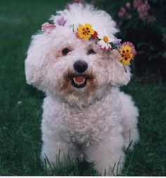 Amanda the bichon with flowers in her hair. How adorable. When I get HONDOE groomed,his hair isn't too long,but long enough to get the perfect haircut and blow dry him out FLUFFY and we have the groomer put DIED feathers in his ears,one on each ear he's,adorable and BEAUTIFUL.CHERIE